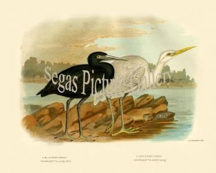 Heron, Blue Reef (Demiegretta Jugularis)